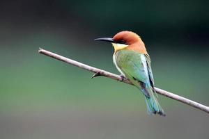 oiseau guêpier à tête châtaigne photo