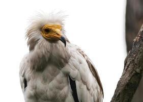le vautour égyptien photo