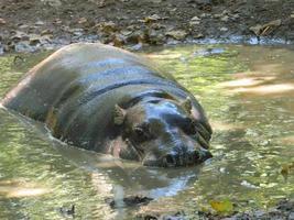 hippopotame pygmée dans l'eau boueuse