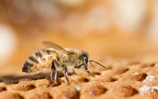 macro d'abeille photo