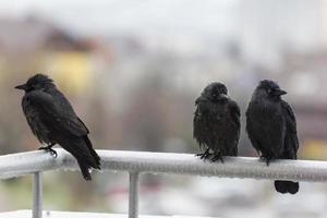 trois corbeaux humides assis sur un rail de balcon