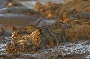 hippopotame dans la boue photo