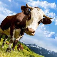 vache alpine photo