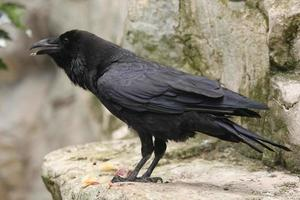 corbeau commun (corvus corax). photo