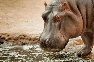 hippopotame debout près de la piscine