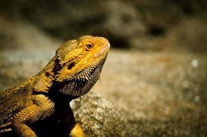 lézard dragon barbu photo
