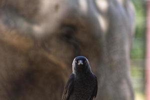 corbeau noir avec éléphant derrière