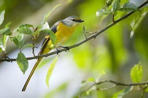 Oiseau minivet à longue queue femelle au Népal