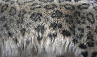 léopard des neiges, uncia unci, photo