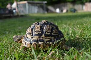 tortue léopard