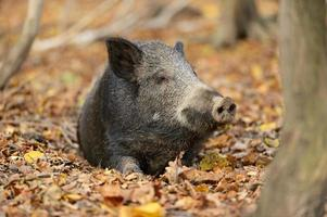 cochon sauvage photo