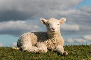 se dorer petit agneau photo