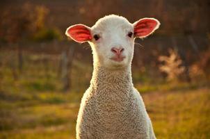 agneau au coucher du soleil photo