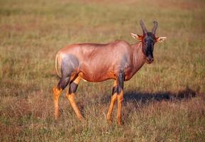 antilope sur fond d'herbe verte photo