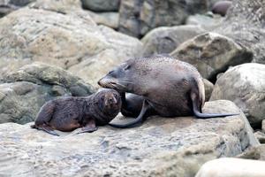 Nouvelle-zélande otarie à fourrure mère et son bébé photo