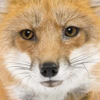 renard roux (4 ans) photo