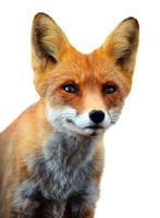 Gros plan sur le renard roux. photo