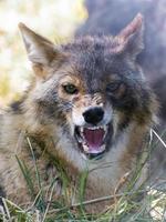 chacal doré (canis aureus) photo