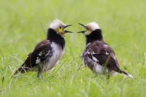 deux étourneaux à collier noir chantant photo