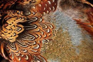 macro de plumes de faisan photo