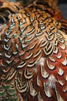 plumes de faisan photo