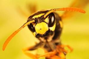 abeille, portrait de frelon photo