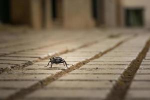 scarabée noir photo