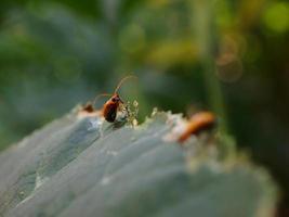 scarabée orange photo