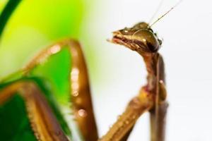 scarabée bijou, scarabée métallique ennuyeux, buprestid. photo