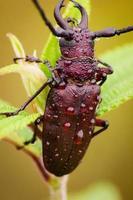 scarabée asclépiade photo