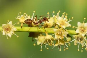fourmi rouge. photo
