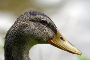 tête de canard photo