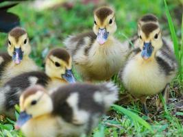 Six jeunes canards debout ensemble à Minas Gerais, Brésil. photo