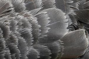 plumes de cygne noir