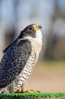oiseau de proie falco peregrinus, fauconnerie. animal le plus rapide. photo