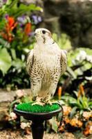 faucon pèlerin photo