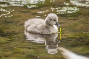 cygnet dans la rivière avec des mauvaises herbes de l'étang dans son bec