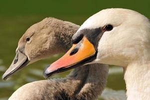 cygne - mère et fille photo