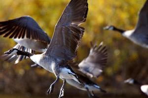 bernaches du canada prenant son envol de l'étang des prairies photo