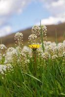 fleurs blanches et jaunes dans le pré - flores