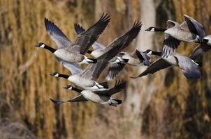 bernaches du canada volant à travers les bois d'automne photo