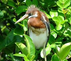 héron tricolore (Egretta tricolor) photo