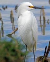 Aigrette neigeuse au plumage nuptial photo