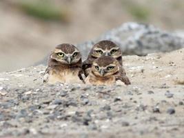 trois bébés hiboux fouisseurs photo
