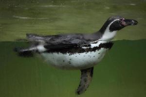 pingouin humboldt (spheniscus humboldti). photo