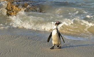 marche des pingouins africains (spheniscus demersus) photo