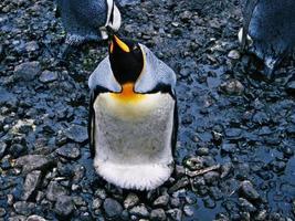pingouin en levant photo