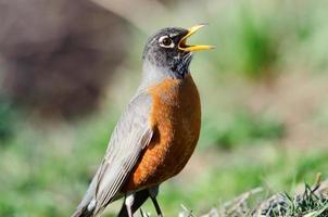 Robin américain chantant photo