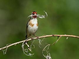 Chardonneret élégant avec branche sèche photo