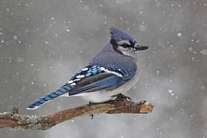 geai dans la neige photo
